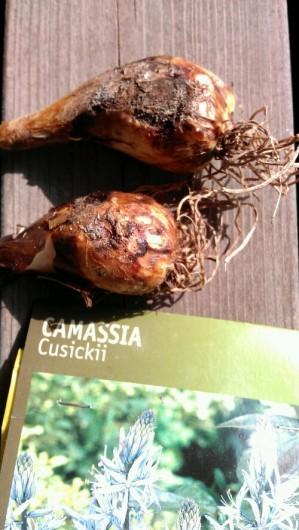 Efterårsløg - Camassia Cusickii © 2011 - I min have.dk