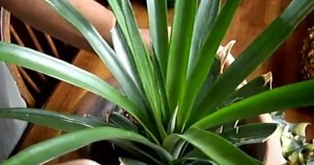 ananas-video
