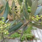 Masser af oliven