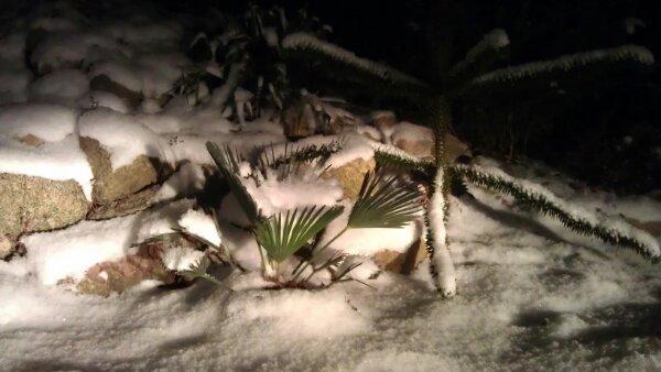 lille snedækket Trachycarpus wagnerianus © iminhave.dk