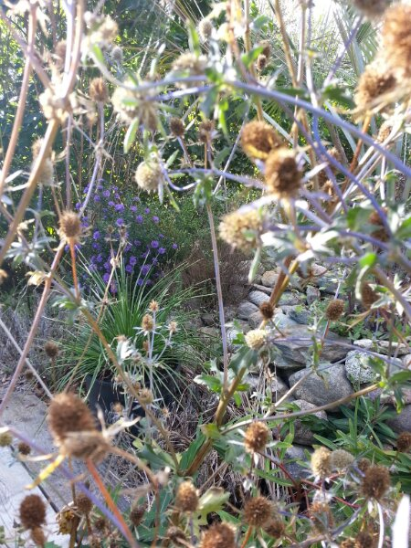 Blå Russisk mandstro og agave