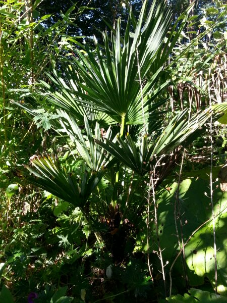 Trachycarpus wagnerianus i min have © iminhave.dk