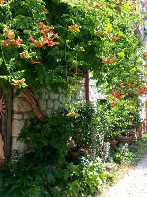 Eksotiske klatreplanter