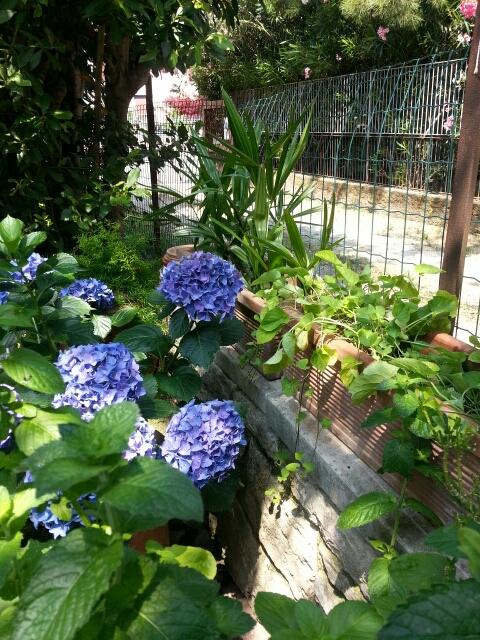 Flere blå Hortensia