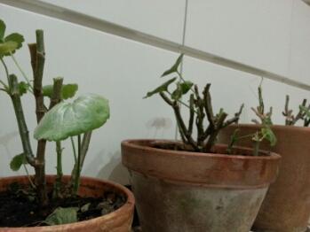 Nyklippet Pelargonium stadt bern