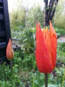 Farverne kommer fra tulipanerne for tiden © iminhave.dk