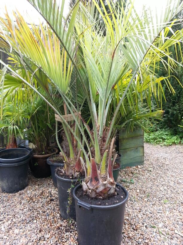 Her er 2 stk. omplantet Butia capitata palmer er på vej ud i haven © iminhave.dk